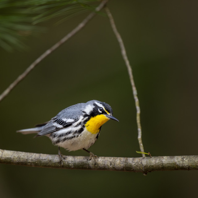 """""""Yellow-throated Warbler framed"""" stock image"""
