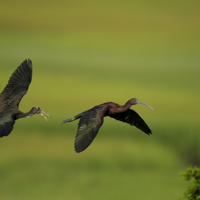 """""""Young Glossy Ibis Chases an Adult"""" stock image"""