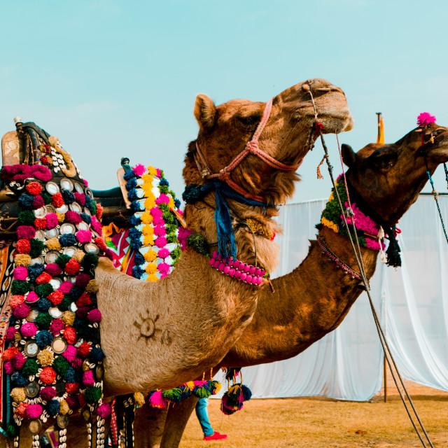 """""""Camel Fare Festival"""" stock image"""