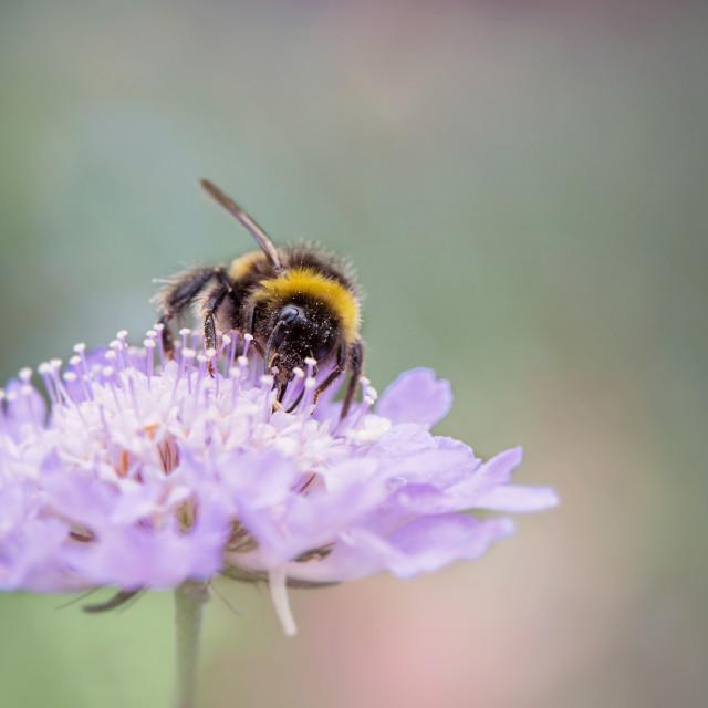 """fuzzy bee"" stock image"