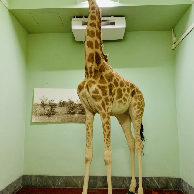 """""""The giraffe is the room"""" stock image"""