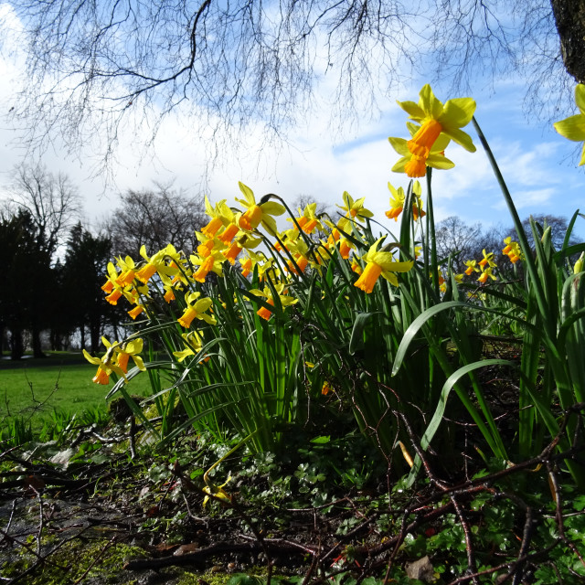 """""""Daffodils in the Park"""" stock image"""