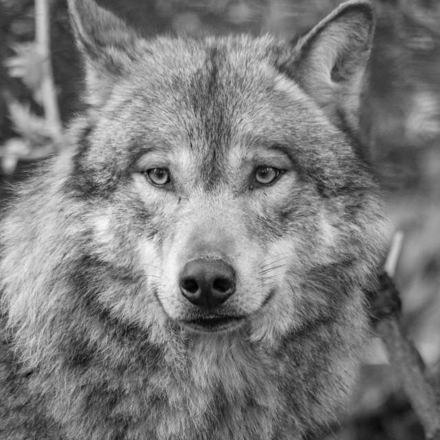 """Eurasian wolf (Canis lupus lupus)"" stock image"