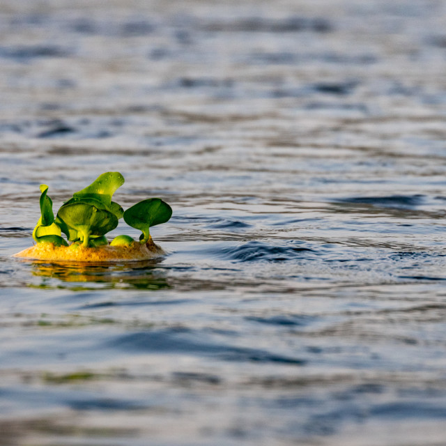 """Water Hyacinth Floating on River"" stock image"