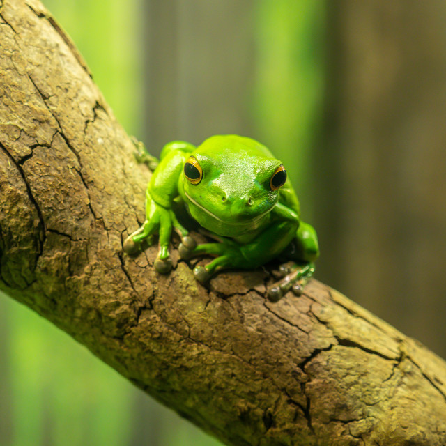 """A green tree frog"" stock image"