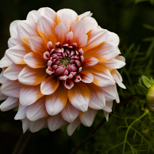 """Dahlia - Hollyhill Orange Ice"" stock image"