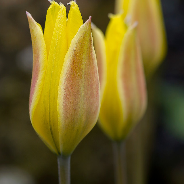 """Yellow Tulips"" stock image"