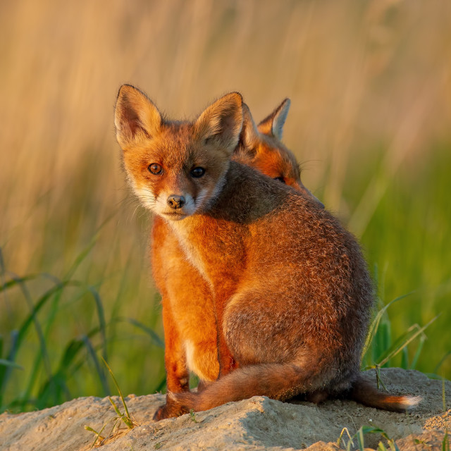 """""""Two red fox cubs sitting near burrow."""" stock image"""