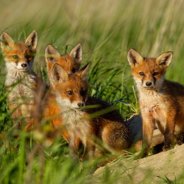 """""""Red fox, vulpes vulpes, family near animal den."""" stock image"""
