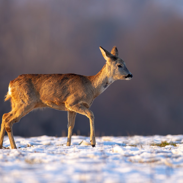 """""""Young roe deer in winter walking on snow."""" stock image"""