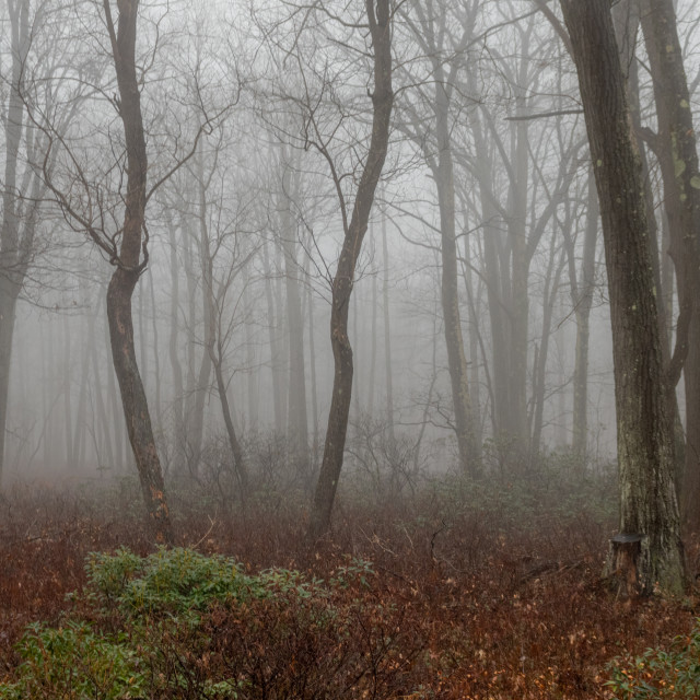 """Foggy Morning in the Forest"" stock image"