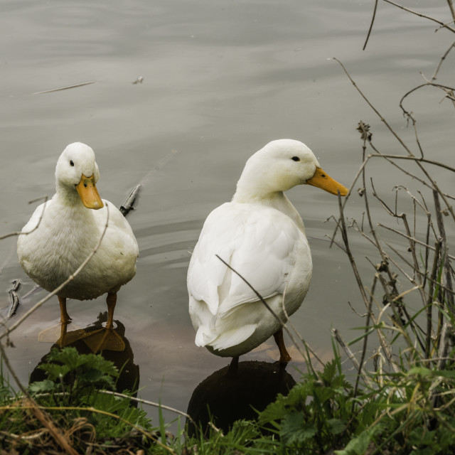"""Ducks on pond"" stock image"