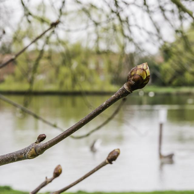 """Spring buds over pond"" stock image"