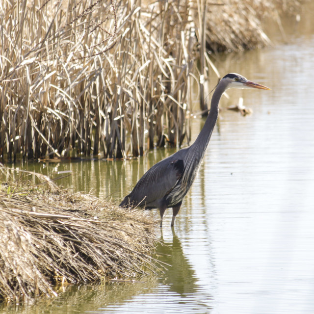 """blue heron wading in the marshes"" stock image"