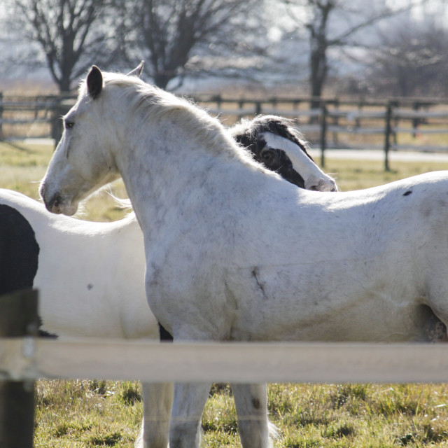 """""""two horses greeting each other in corral"""" stock image"""