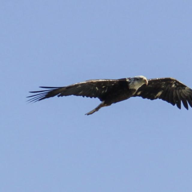 """bald eagle gliding against blue sky"" stock image"