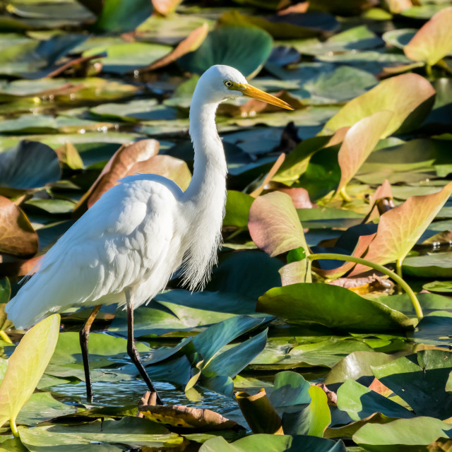 """A Great Egret"" stock image"
