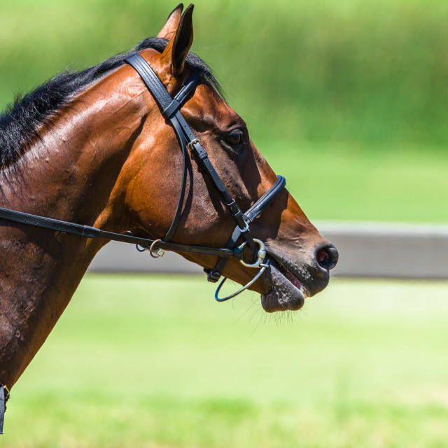 """""""Horse Head Bridle Close-Up Race Track"""" stock image"""