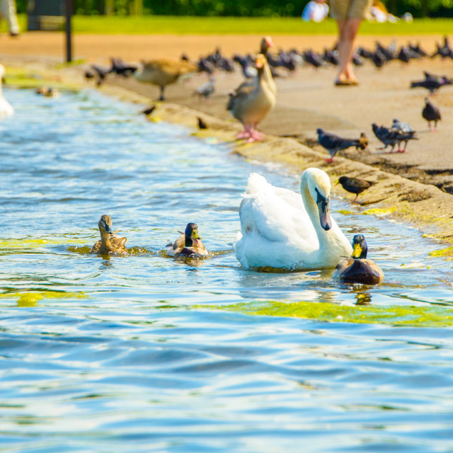 """""""Beautiful swans swimming in the park in London"""" stock image"""