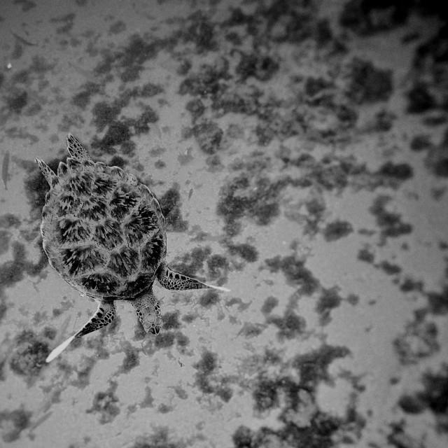 """Juvenile Green Turtle"" stock image"