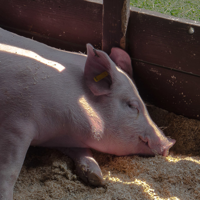 """HAPPY PIG IN A SUN BEAM"" stock image"