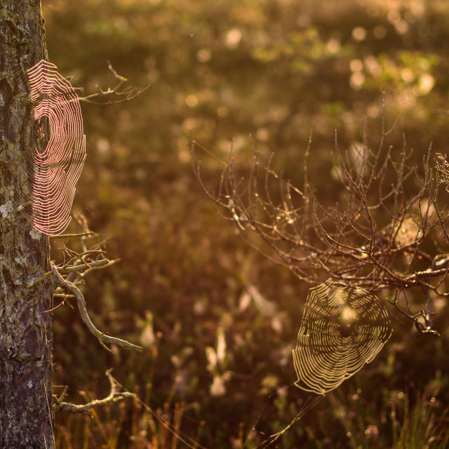 """""""Spider nets on branches of tree. Beautiful idyllic morning light, during sunrise in bog boardwalk."""" stock image"""