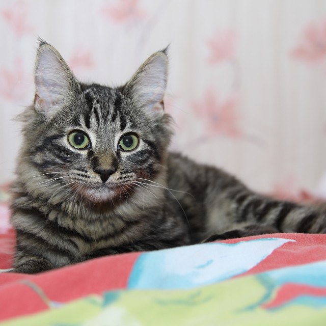"""""""Young Maine Coon with black nose and long ears"""" stock image"""