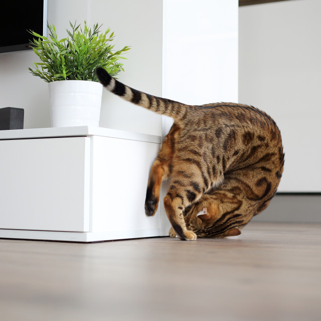 """Cute bengal cat tambling playing"" stock image"