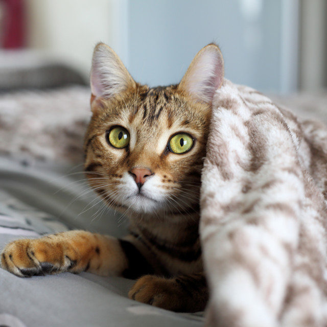 """Cat lying in the bed under the blanket. Cat thinks he is human."" stock image"