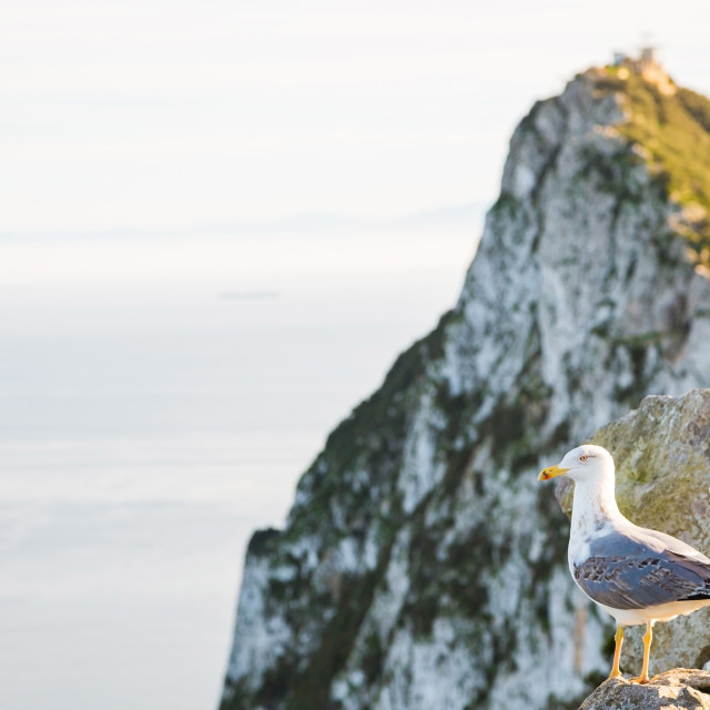 """Ring-billed Gull standing on a rock enjoying a rainbow on a rock in Gibraltar"" stock image"