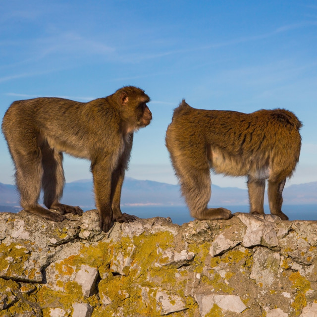 """Barbary macaques on top of the rock in Gibraltar"" stock image"