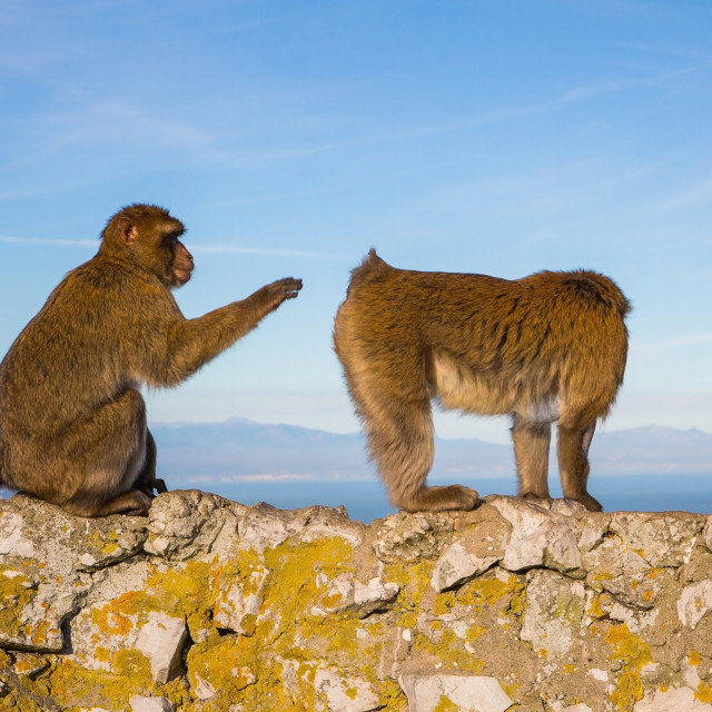 """Two monkeys playing on the top of the rock in Gibraltar"" stock image"