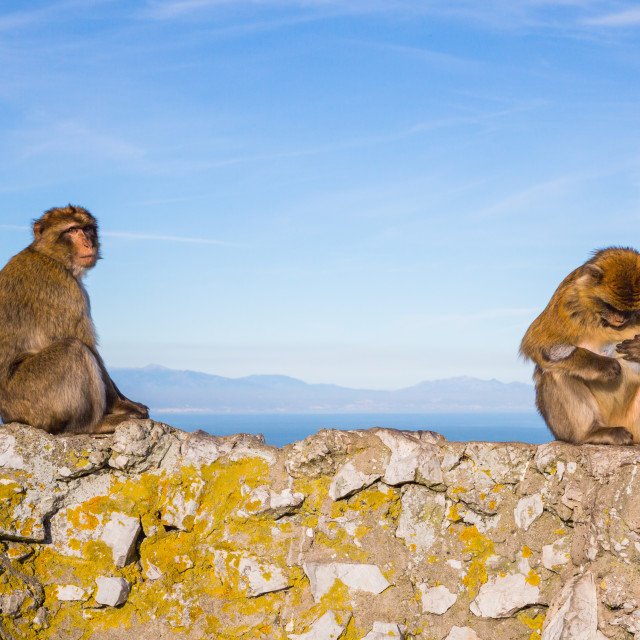 """Two funny monkeys sitting on a rock in Gibraltar"" stock image"