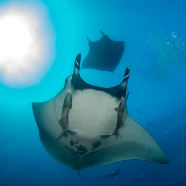 """Oceanic Manta Ray Manta birostris"" stock image"
