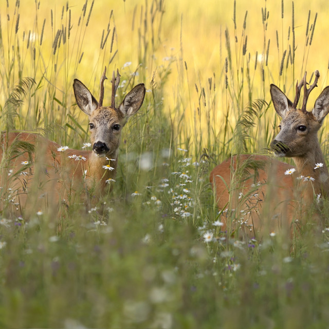 """Buck deers in a clearing"" stock image"