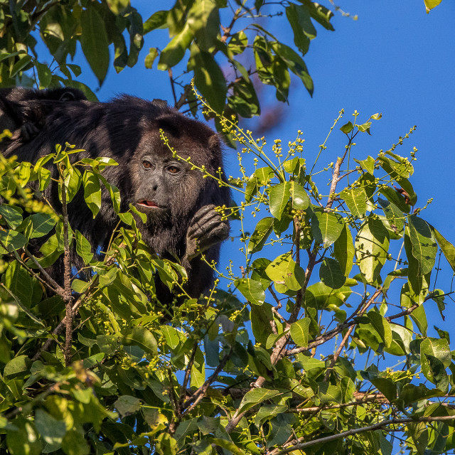 """black howler monkey"" stock image"