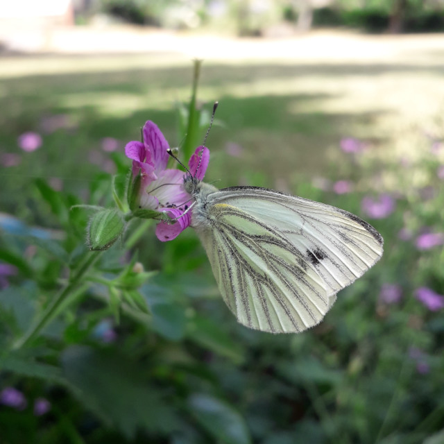 """""""Cabbage White Butterfly"""" stock image"""
