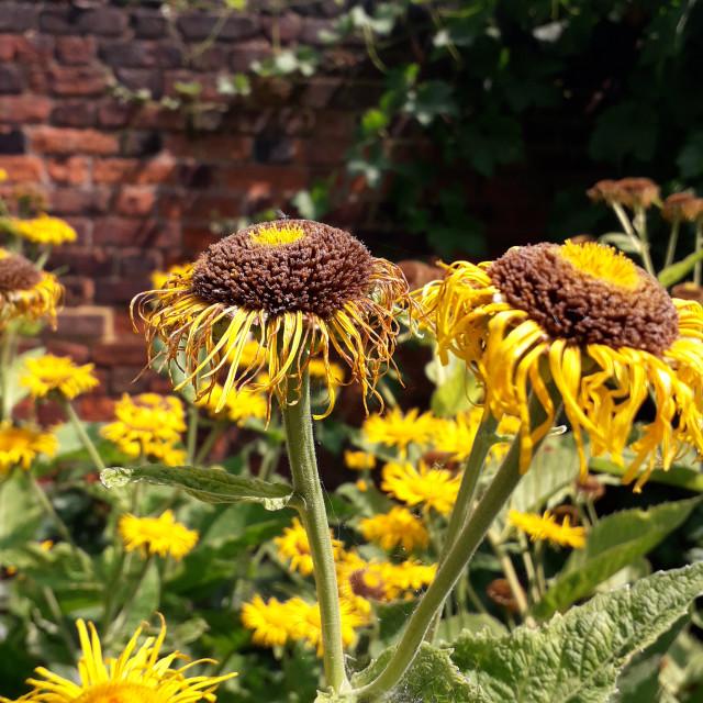 """""""Sunflowers at Rainham Hall"""" stock image"""