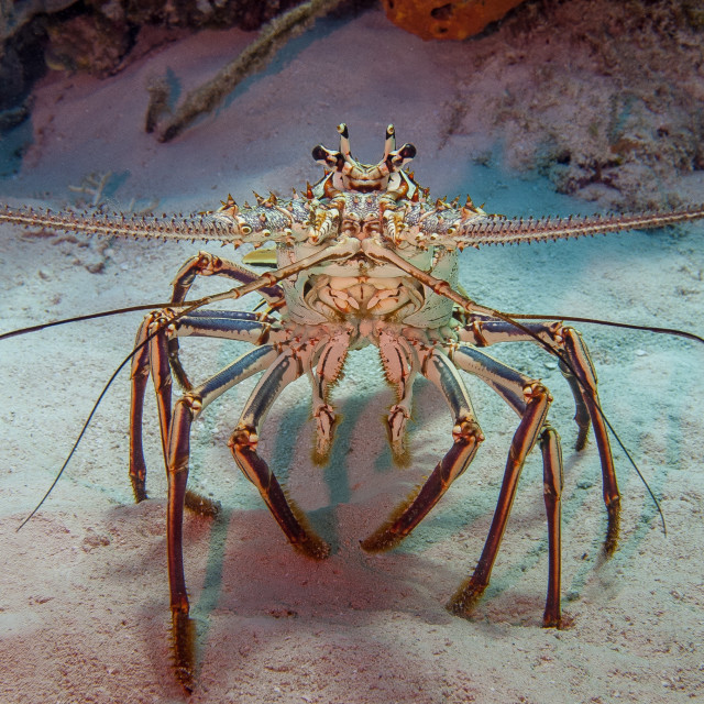 """Spiny lobster"" stock image"