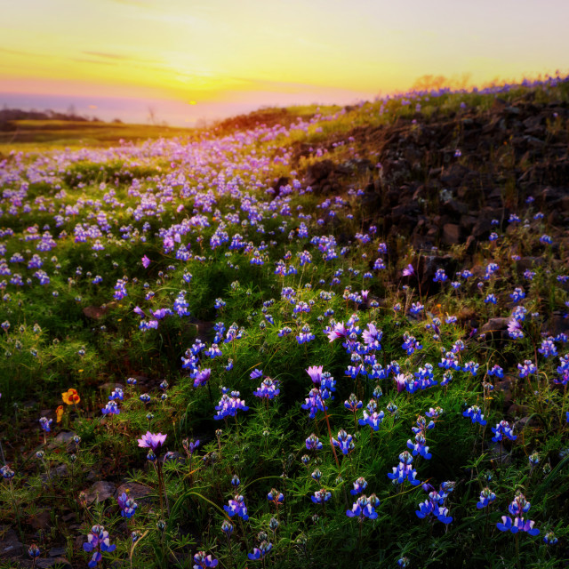 """""""Sunset Over A Field Of Wildflowers"""" stock image"""