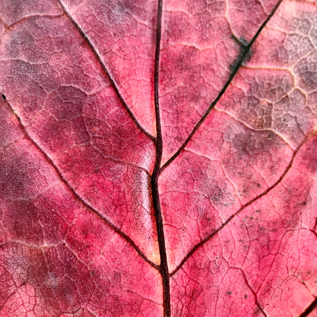 """Macro study of a dried pressed leaf."" stock image"