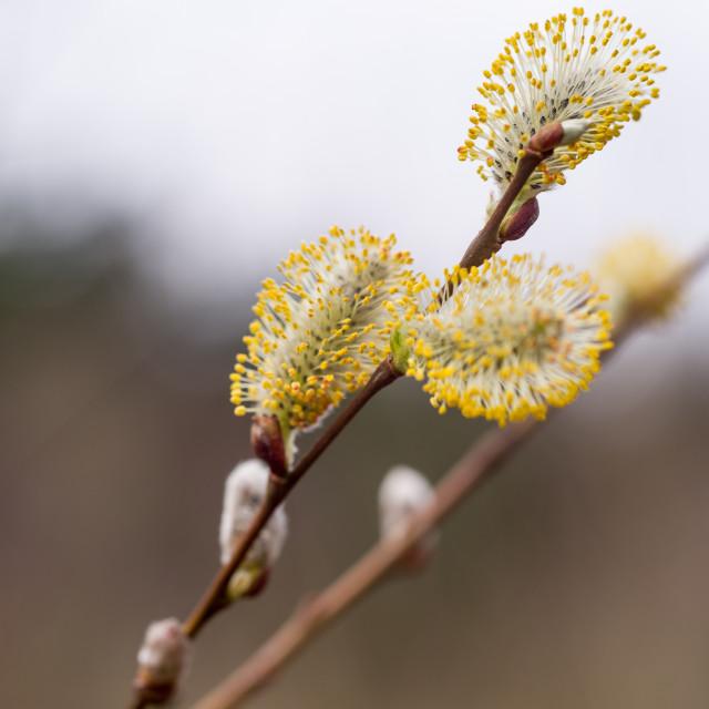 """""""Salix caprea Catkin Flower"""" stock image"""