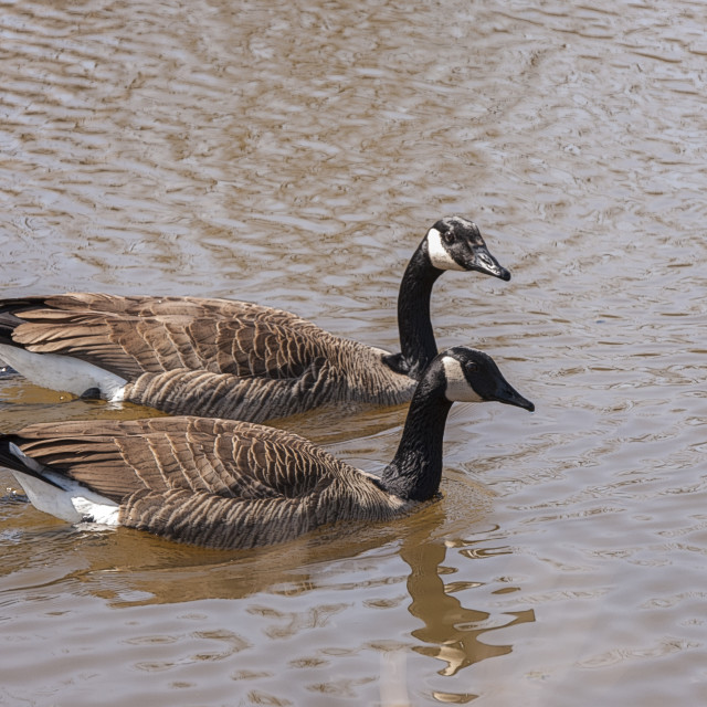 """Geese Swimming"" stock image"