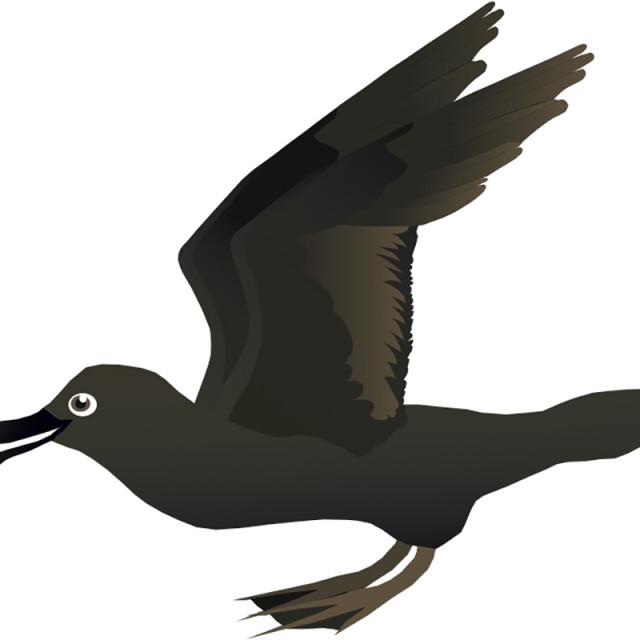 """""""Mutton Bird Koolamooloo"""" stock image"""