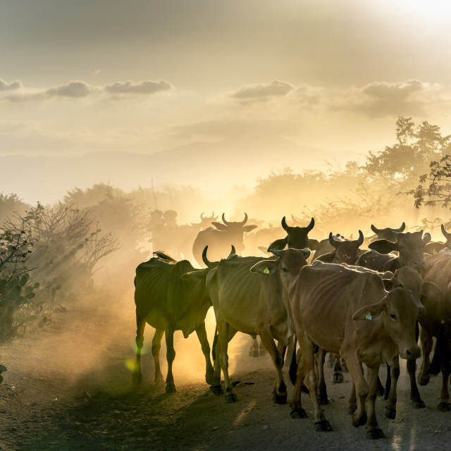 """Stunning image of large cows flock returning to the barn in the sunset,"" stock image"