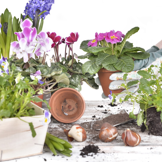 """""""potting flowers by a woman"""" stock image"""