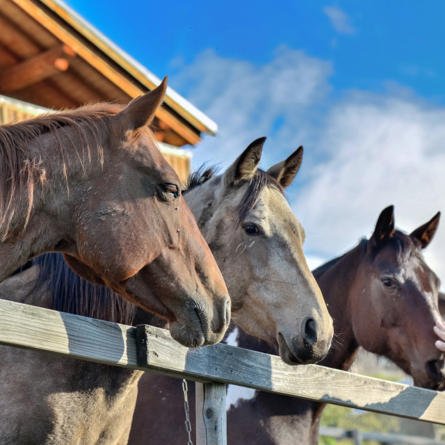 """""""horses behind a fence"""" stock image"""