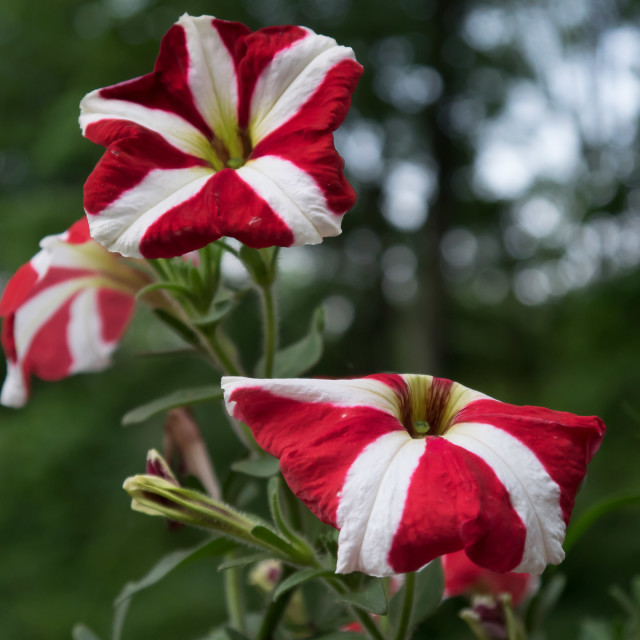 """RED AND WHITE FLOWERS"" stock image"