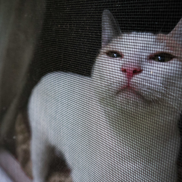"""CAT BEHIND A WINDOW SCREEN"" stock image"