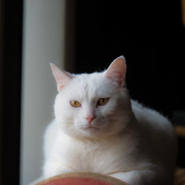 """WHITE CAT"" stock image"
